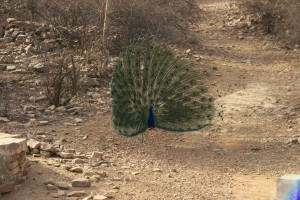 A wild peacock spreading it's feathers