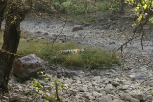 A tiger relaxing....