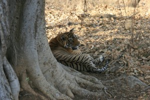 The closest I got to a tiger....