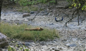 A few peacocks were brave enough to walk right by a tiger